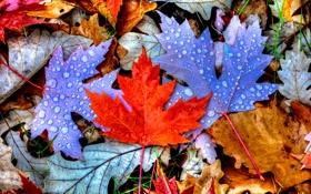 Картинка капли, листья, осень, цвет, клен