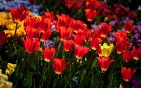 Обои тюльпаны, солнце, весна, красные, желтые, много
