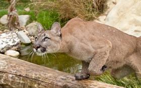 Обои кошка, трава, взгляд, вода, брызги, прыжок, охота