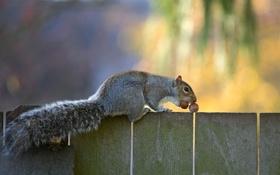 Обои забор, белка, хвост, серая, орехи