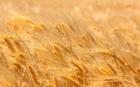 Обои пшеница, поле, жёлтая, спелая, пора, колоски.