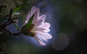 Картинка цветок, листья, свет, блики, розовый, ветка, освещение