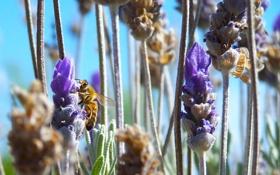 Картинка цветы, пчела, насекомое, шмель, солнечно, полевые
