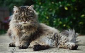 Картинка кошка, кот, взгляд, пушистая