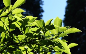 Обои листья, природа, nature, leaves, macro, leag