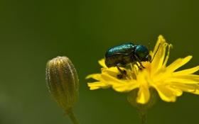 Обои бутон, цветок, желтый, насекомое, жук