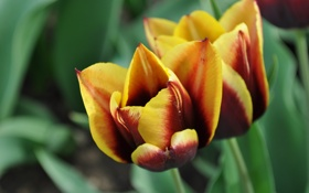 Картинка природа, Цветы, растения, тюльпаны