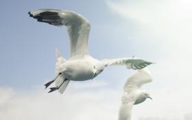 Картинка white birds, снежная, sky, fly, небо, птицы, чайка