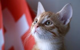 Обои кот, котенок, Швейцария, kitty