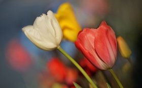 Обои бутоны, тюльпаны, боке