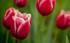 Обои цветы, стебли, лепестки, тюльпаны, flower
