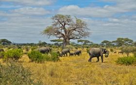 Обои обитатели, саванна, африка, слоны, стадо