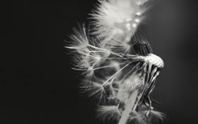 Картинка фото, фон, одуванчик, обои, семена, черно-белое, пушинки