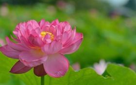Картинка цветок, листья, лотос, flower Lotus leaves