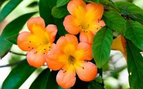 Обои листья, оранжевый, лепестки