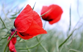 Обои полевые, цветы, трава, красные, маки