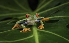 Обои лист, лягушка, с красными глазами