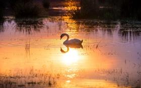 Картинка солнце, свет, отражение, грация, лебедь, водоем