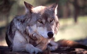 Обои животное, собака, Волк, зверь, дикий