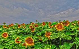 Обои облака, поле, подсолнух, небо, цветы