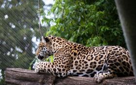 Обои пятна, дикая кошка, ягуар, зоопарк, отдых, хищник, лежит