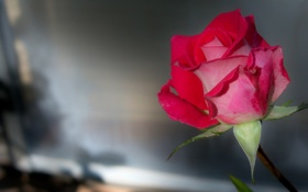 Обои роза, макро, бутон