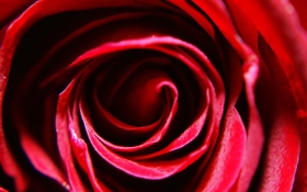 Обои роза, rose, красная, лепестки, red, макро