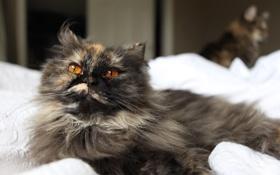 Картинка кошка, глаза, пушистая