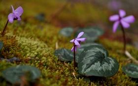 Обои листья, мох, Цикламен, всходы, Cyclamen, цветки