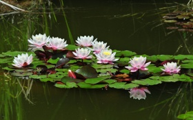 Обои лето, вода, пруд, отражение, настроение, лягушка, лилия