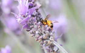 Картинка цветок, лето, природа, пчела