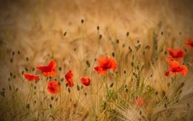 Картинка поле, колосья, пшеница, маки