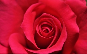 Обои роза, цветок, лепестки, розовая