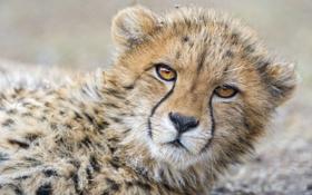 Обои кошка, морда, гепард, детёныш, ©Tambako The Jaguar