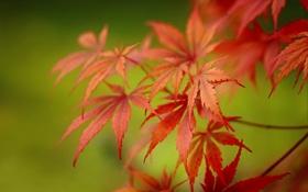 Обои листья, ветки, размытие, боке, клён японский
