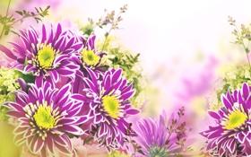 Обои листья, цветы, хризантемы