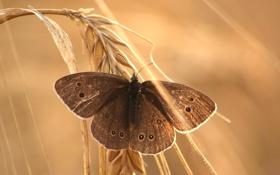 Обои бабочка, колосок, боке