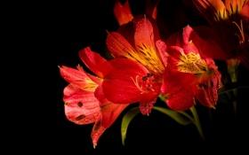 Обои макро, цветы, лепестки, тени, бутоны, flowers