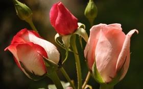 Обои розы, бутоны, макро