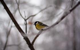 Обои зима, птичка, синица