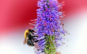 Обои растение, цветок, пчела, насекомое