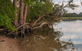 Обои лес, деревья, корни, озеро