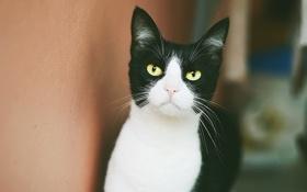 Обои глаза, кот, усы, взгляд, черно-белый, желтые, смотрит