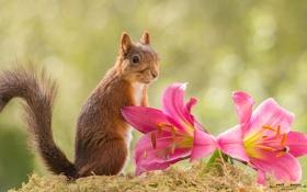 Обои рыжая, лилии, белка, цветы