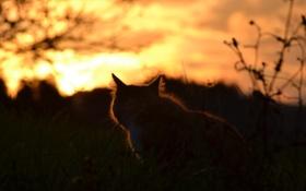 Картинка кошка, кот, закат, природа