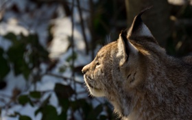 Картинка кошка, морда, профиль, рысь