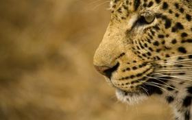 Картинка морда, хищник, леопард, профиль, дикая кошка