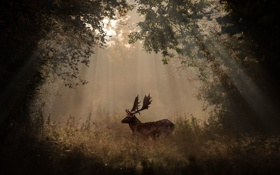 Обои forest, horns, morning, sunlight, deer