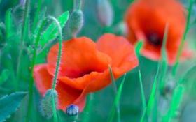 Картинка поле, трава, маки, лепестки, луг
