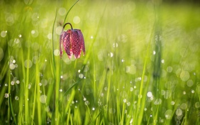 Картинка цветок, трава, свет, роса, блики, утро, боке